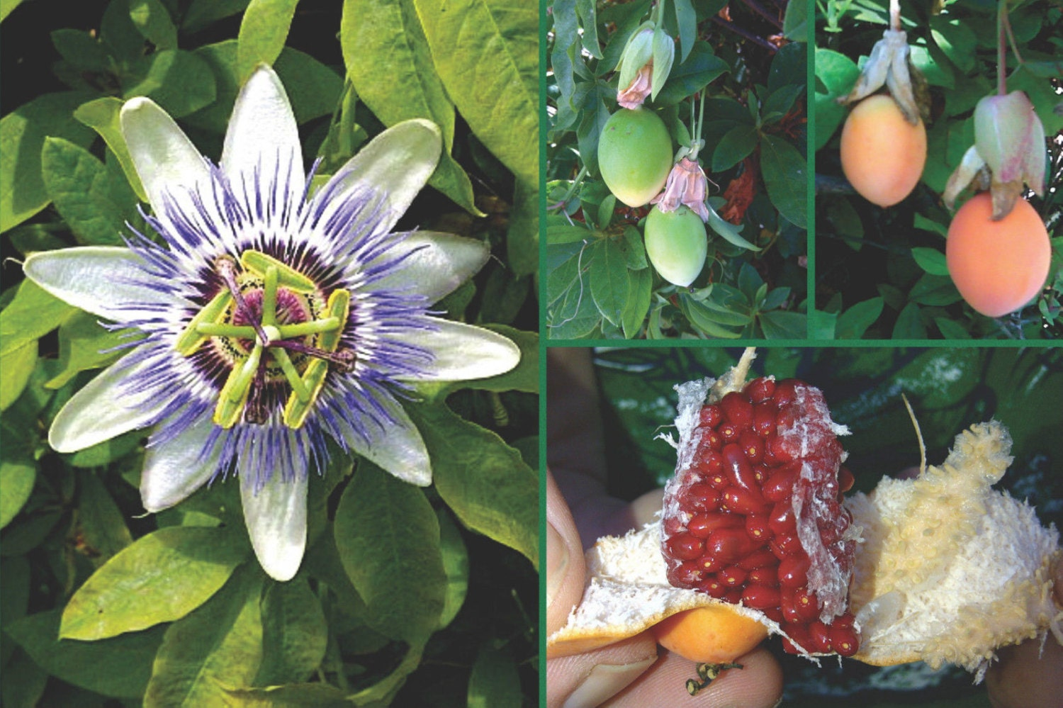 Passion Flower Seeds Blue Great For Growing Indoors Etsy