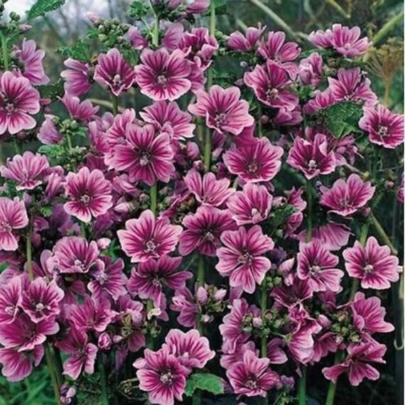 giardino Bella brillante fiori di rosa Rosa malva BIO fiore 100 semi