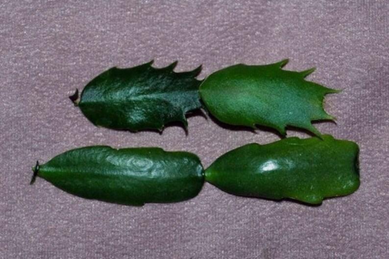 4 Double Segments Easter Cactus SCORPIUS Rhipsalidopsis Gaertneri