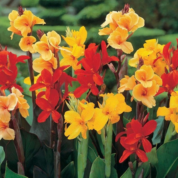 Canna Lily Seeds Mixed Varieties Easy To Grow Exotic Etsy