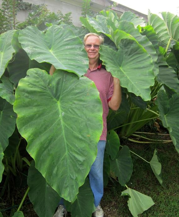 3 Jack S Giants Elephant Ear Bulbs Great Plant Indoors Etsy