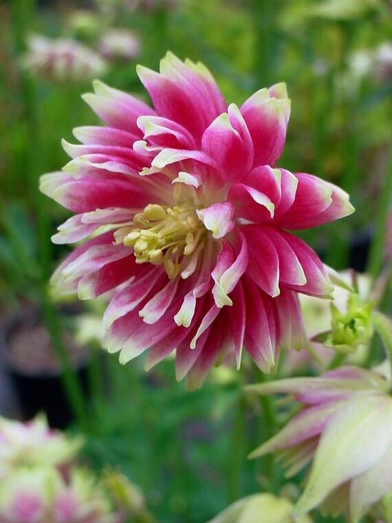 BLACK BARLOW Columbine Seeds 10 Seeds Perennial Winter Hardy Heirloom