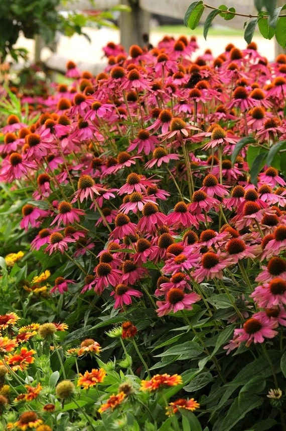 Echinacea Seeds Pow Wow Deer Rabbit Resistant Etsy