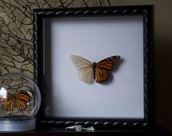 Skeletonized Monarch Butterfly