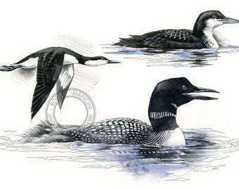 Common loon watercolour - bird art, wildlife art - nature print of original artwork