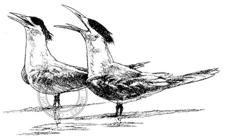 Crested Rybitwy Rysunek Ołówkiem Ptak Sztuki Sztuki Przyrody Etsy