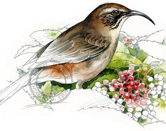 California Thrasher - bird wildlife art - nature print of original artwork