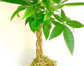 Kokedama, A Braided Money Tree, Easy To Care plant, A Perfect Gift For Dad