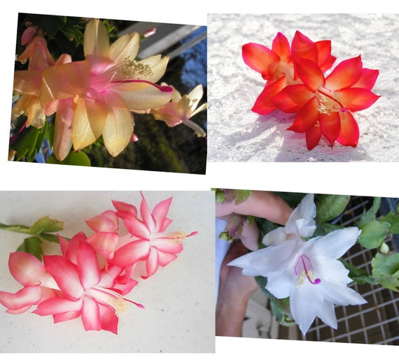 Christmas cactus rooted cutting cactus flower red pink etsy christmas cactus rooted cutting cactus flower red pink white christmas cactus blooming a perfect houseplant mightylinksfo