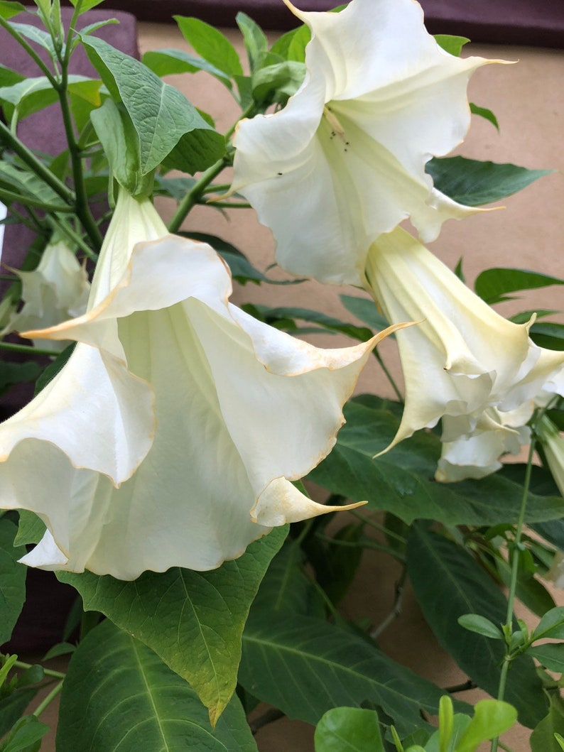 Mixed Angel Trumpet Plant Brugmansia Suaveolens Plant Easy To