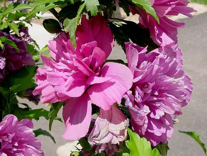 Rose Of Sharon Hibiscus Plant Shrub Althea Hibiscus Double Etsy
