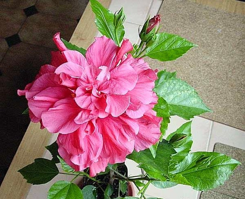 Hibiscus Tropical Hibiscus Plant Double Pink Hibiscus Etsy