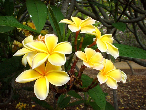 Plumeria yellow plumeria tree rooted plumeria seedling tropical yellow flowers a perfect housewarming gift image 0 mightylinksfo