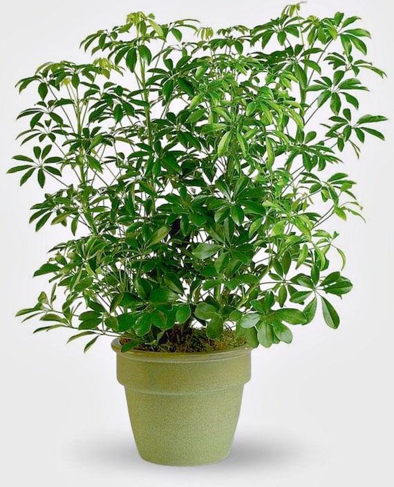 Schefflera Arboricola Umbrella Tree A Perfect Indoor plant | Etsy on umbrella tree schefflera arboricola, umbrella tree care, umbrella tree fruit, umbrella tree plant propagation, umbrella tree bulbs, umbrella tree leaf, umbrella tree tree, umbrella tree fertilizer, umbrella tree potted plant, umbrella tree christmas, umbrella tree flower, umbrella tree tropical, umbrella tree bark, umbrella tree indoor, umbrella tree furniture, umbrella tree seeds, umbrella tree leaves, umbrella tree bonsai,