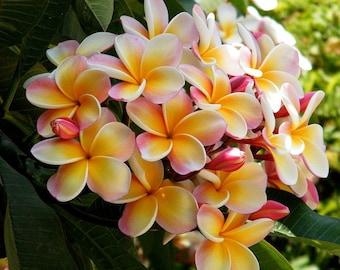 Rooted Seedings, Tropical Plumeria Tree, Plumeria Rainbow Pink Flowers, Frangipani Plumeria, A Perfect Housewarming Gift, Gift