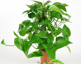 """Pothos Plant 6"""" Pot A Perfect Indoor Houseplant OUR GUARANTEE!"""
