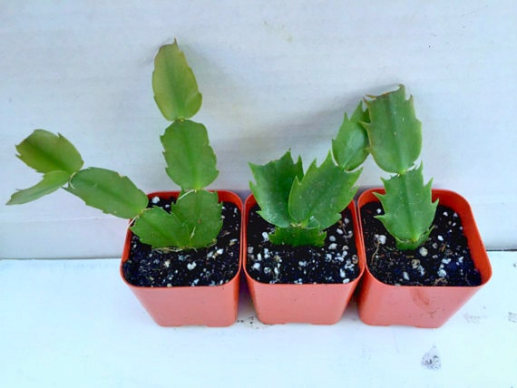 Christmas Cactus.Christmas Cactus Rooted Cutting Holiday Cactus Live Plant Pink White Red Yellow Flower