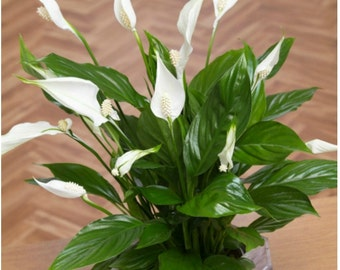 Live Peace Lily Plant, Spathiphyllum Home Decor Plant, Indoor Houseplant, A Perfect Housewarming Gift