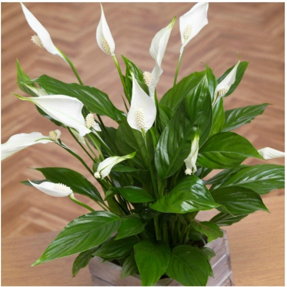 Live Peace Lily Plant Spathiphyllum Home Decor Plant Indoor   Etsy on vanda house plants, north carolina house plants, missouri house plants, angel house plants, lucky house plants,