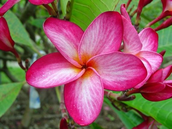 Plumeria seedling beautiful tropical pink flowers 6 etsy image 0 mightylinksfo
