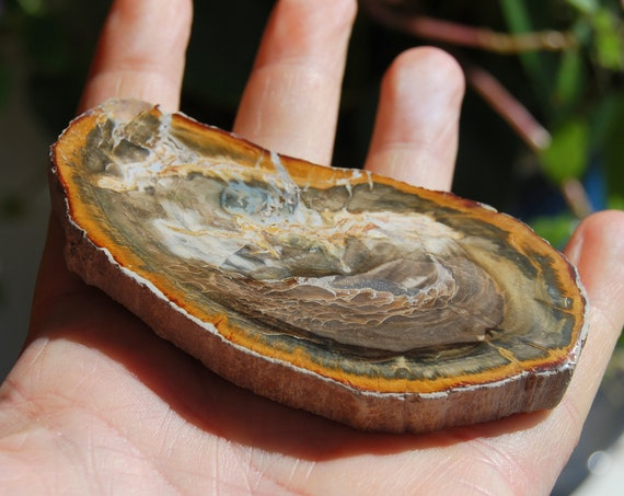 Fossilized Wood Slice from Madagascar, Polished Petrified Wood -  66 grams - FREE Shipping !