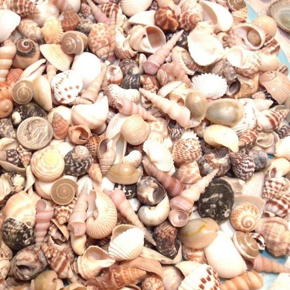 1//2 LB  DYED GREEN MOON SNAIL  SEA SHELLS BEACH  DECOR NAUTICAL CRAFT NAUTICAL