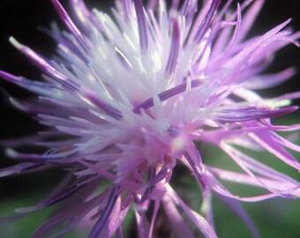 Flower Photo Print, Purple Flower Photo Print, Spotted Knapweed, Macro Photo, Nature Photo Print