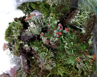 Mix of British Soldier Pixie Cups Pityrea Lichen and Live Moss