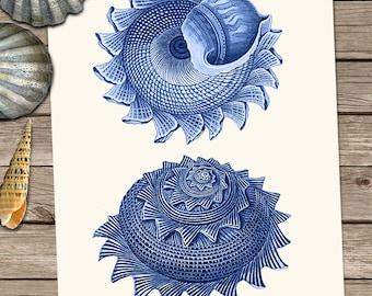 Blue Sea shell art print - Duo 2 - seashell art print seashell print Shell wall art Blue home decor Blue wall art coastal decor Beach House