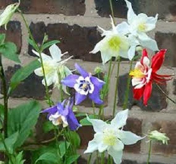 Blue Star Aquilegia Flower Seeds Mix White Perennial 25 Red
