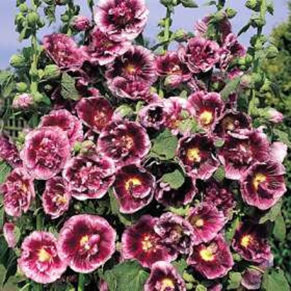 35 Old Fashioned Giant Creme De Cassis Hollyhock Flower Seeds Etsy