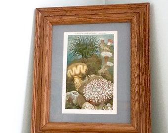 original print, anemones print, vintage sea life, ocean decor, aquatic wall art, framed art, ready to hang art, book art print, sea anemones