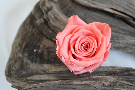 Preserved pink roses 25 soft rose heads 6 rose bunch etsy image 0 mightylinksfo