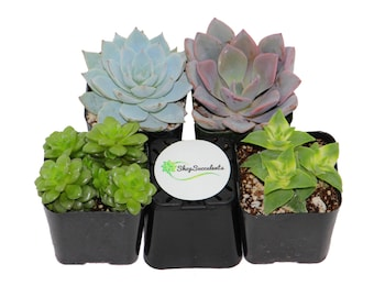 "2"" Assorted Succulent Plant Collection"