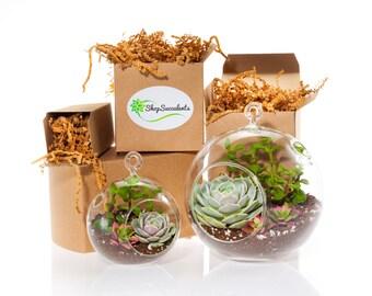 Modern Succulent Terrarium Globe Duo - terrarium kits, hanging terrarium, glass terrarium, hanging plants, hanging planter, succulent gifts