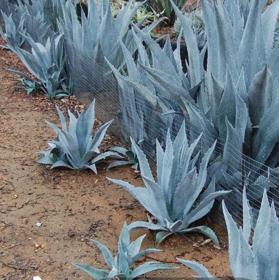 Blue Agave Plants Free Shipping Many Sizes Etsy