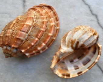 "David Harp Seashells (5 pcs.) - (1-2"") - Harpa Davidus"