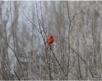 Red Male Cardinal Bird Perched On A Tree Limb In Dead Of Winter - This Is A Digital Download And Nothing Will Be Mailed To You