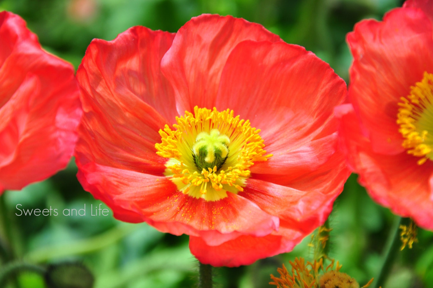 Red and yellow flowers iceland poppy flower red iceland etsy zoom mightylinksfo