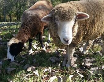 Andromeda's 2021 sorted locks - Merino Romney Cross - Raw Wool - Cruelty Free Wool - half pound - sheep rescue