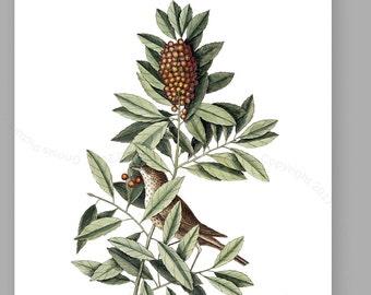 Catesby Bird Print #6 Bird Art,  The Little Thrush, Catesby Natural History Carolina Bird, bird nursery wall decor Gnosis Picture Archive