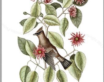 Catesby Bird Print #4 Bird Art,  The Chatterer, Catesby Natural History Carolina Bird, bird nursery wall decor Gnosis Picture Archive