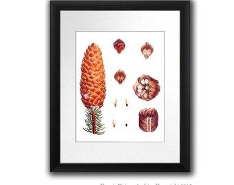 """Fall Decor Pine Cone Decor Botanical Wall Art Conifers print #11 Winter Woodland Wall Decor Christmas Wall Art 8x10"""" Gnosis Picture Archive"""