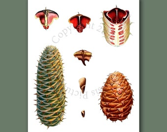 """Pine Cone Decor Forest Wall Hanging Conifers print #9 Fall Winter Decor Woodland Wall Decor Christmas Wall Art 8x10"""" Gnosis Picture Archive"""