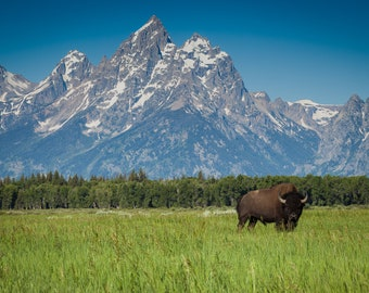 Bison Buffalo Grand Tetons National Park, Open Range, Wyoming, USA, single bison in front of mountain, wildlife photography, Yellowstone