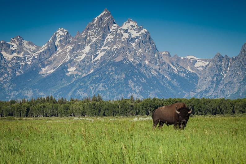 Bison Buffalo Grand Tetons National Park Open Range Wyoming image 1