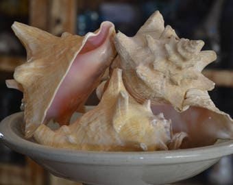 Conch Shells Set of 4