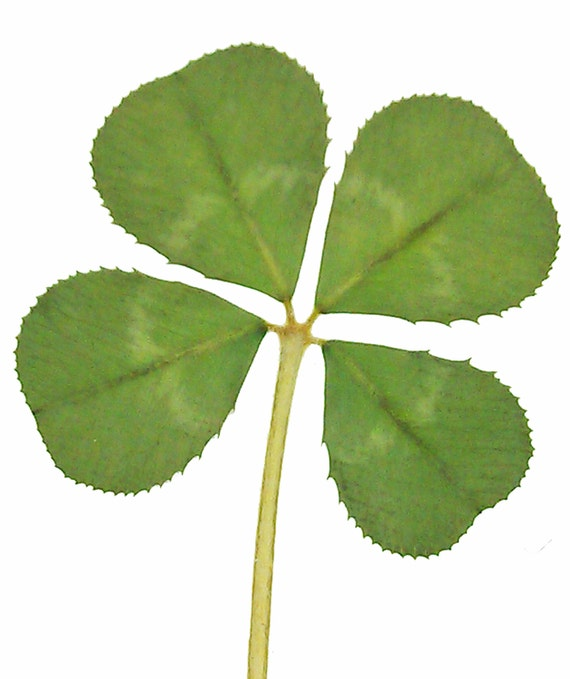 Pack Of 5 Real Four Leaf Clover From White Clover Plant Etsy