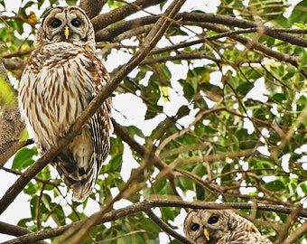 Barred Owls, Charlotte, North Carolina: archival print signed and matted