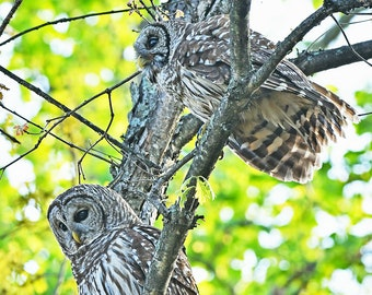 Barred Owls, Charlotte, North Carolina: archival print signed and matted.